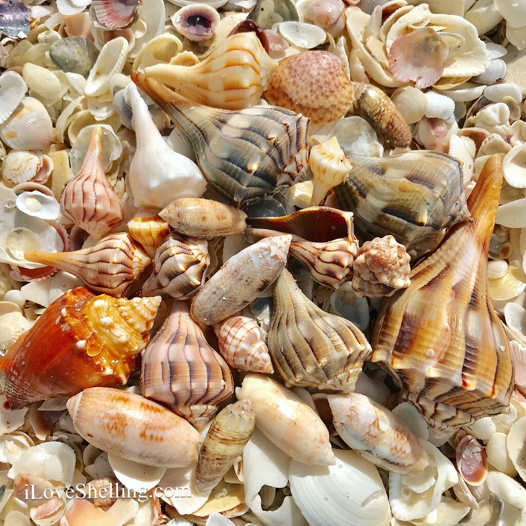 Whelks, Sand Dollars, Scotch Bonnets on Cayo Costa