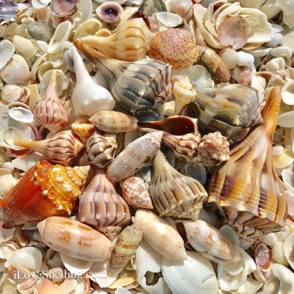 Whelk shells on Cayo Costa island hopping