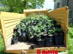 marijuana-cardito-1