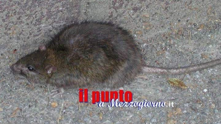 Panico da ratto in piazza Labriola a Cassino, grosso roditore spaventa avventori dei bar
