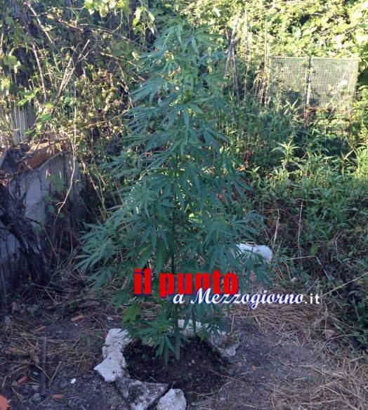 Fratelli narcoagricoltori denunciati a Cassino