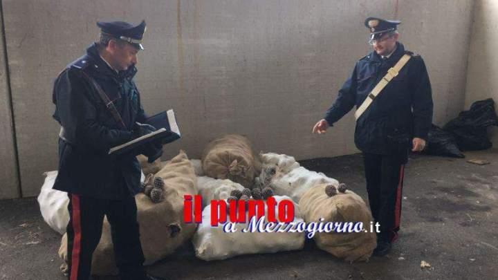 Ladri di pigne in arrestati a Roccagorga, recuperato bottino di 10 quintali