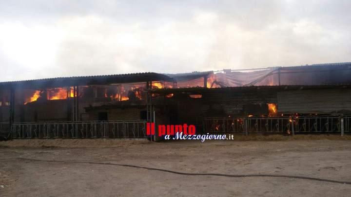 Fiamme in azienda agricola a Nepi, i pompieri salvano decine di vitelli
