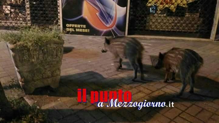 Cinghiali al pascolo in centro a Cassino, è ora di mettere regole