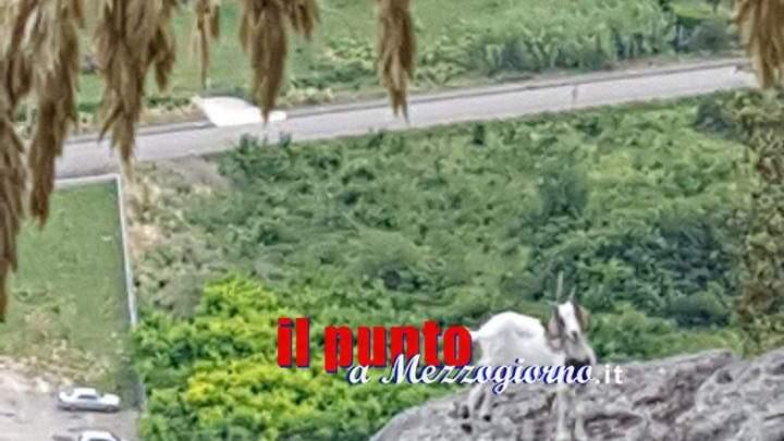 Cassino- Capretta in pericolo, salvata dai vigili del fuoco