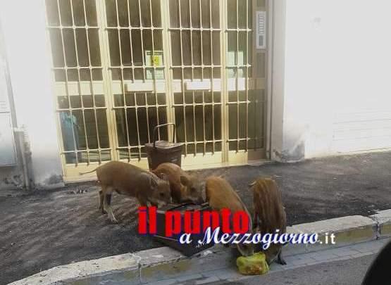 Quattro cuccioli di cinghiale tranquillamente a spasso in via del Foro in cerca di cibo