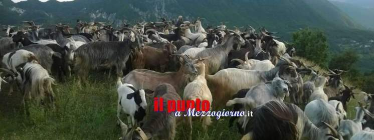 pascolo, capre pecore pastorizia