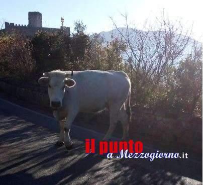 """Mucche al """"pascolo abusivo"""" sulla strada per Montecassino, già c'erano nel dopoguerra"""