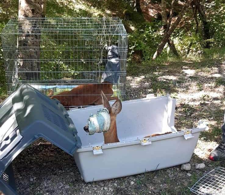 Due caprioli rimessi in libertà nel parco dei monti Simbruini a Filettino