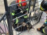 Fornelli – Cucciolo di pastore tedesco incastrato nelle sbarre del cancello liberato dai vigili del fuoco