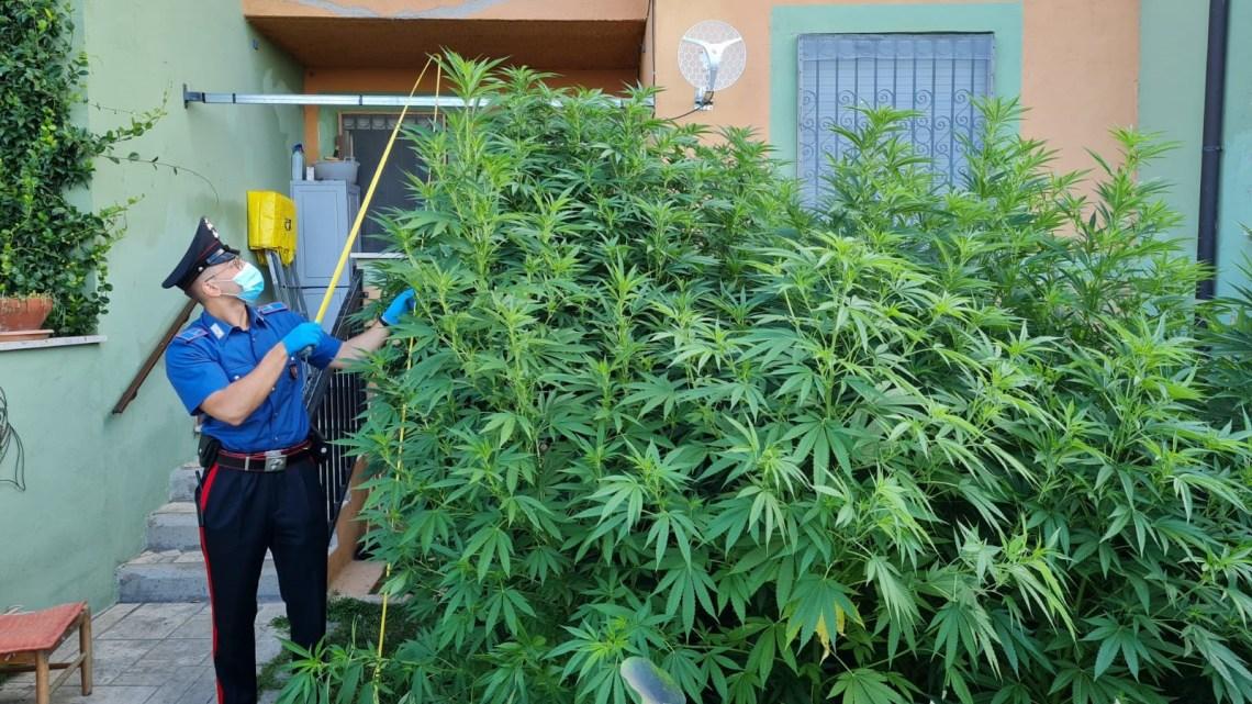 Tra i pomodori spunta rigogliosa piantagione di marijuana, arrestato 42enne a Trevignano Romano