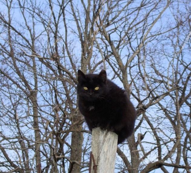 Un bellissimo e affascinante gatto di colore nero. Ph Gianluca Congi ©