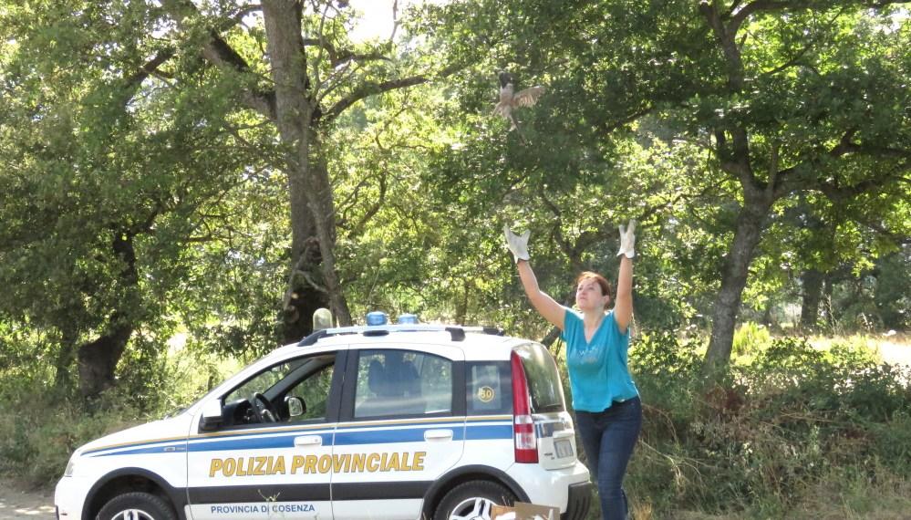 Polizia Provinciale e CIPR liberano uno Sparviere