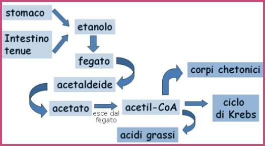 Metabolismo etanolo