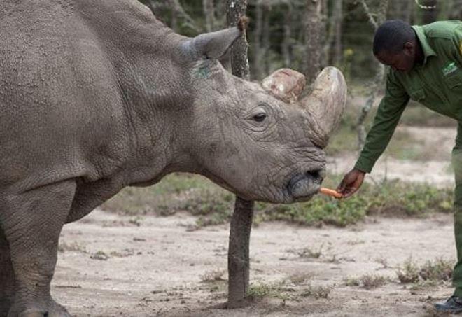 Morto l'ultimo esemplare maschio di rinoceronte bianco settentrionale