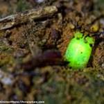 Investigadores descubren larva bioluminiscente