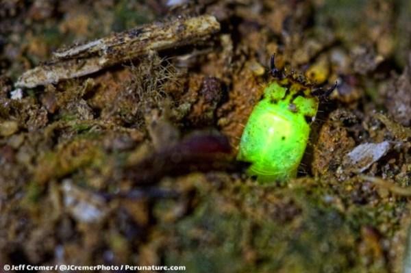 Small Glow Worm