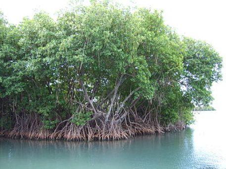 mangrovie, droni