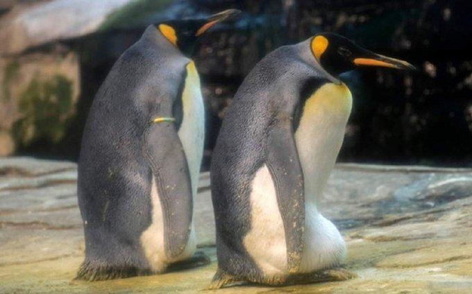 pinguini gay uovo