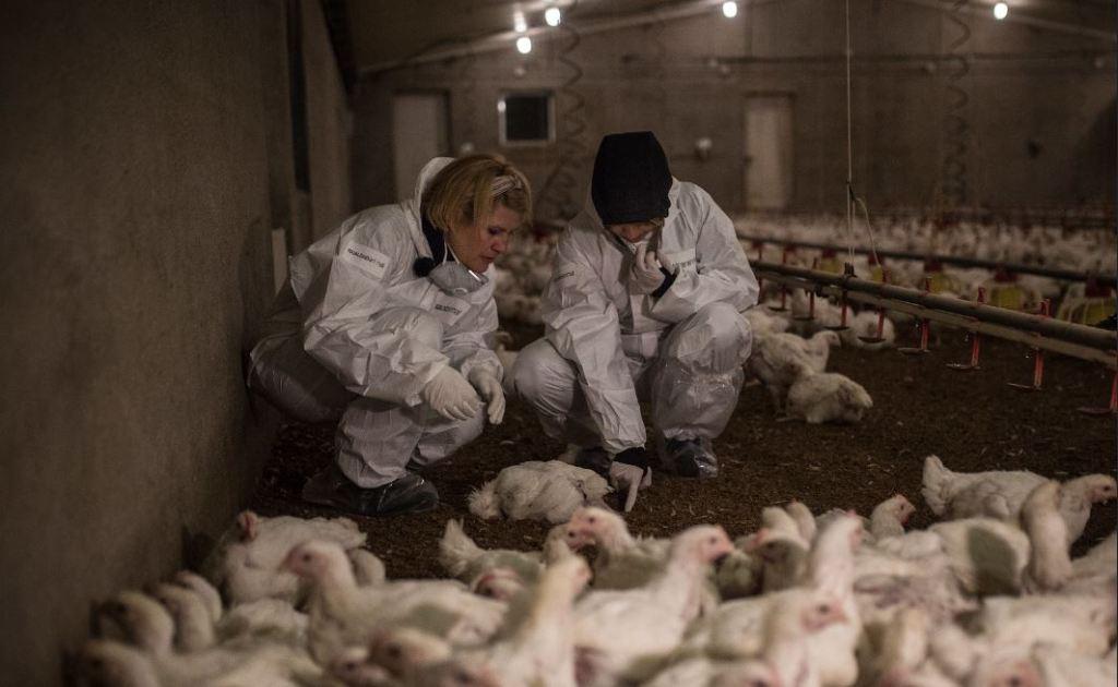 allevamento intensivo polli