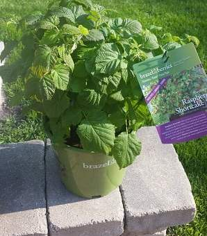 Raspberry plant in pot