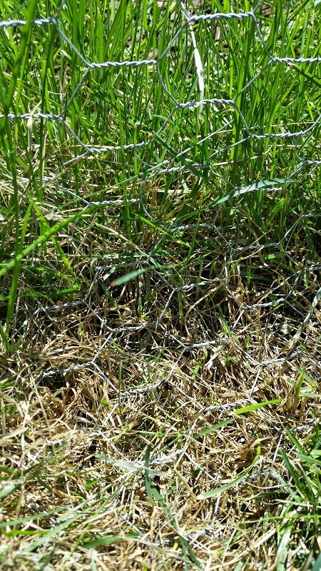 Picture taken July 31st showing the bottom of the fencing. It is hard to see, but basically where the grass is brown (because I just pulled a bunch out) is where the fencing hits the ground, and then I bent it 90 degrees to run along the ground for six inches. I used a metal anchor / staple looking thing every few feet to hold it against the ground.