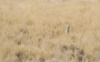 Eekhoorn in Etosha NP Namibië