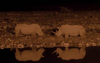 Vechtende zwarte neushoorns bij Okaukuejo waterhole in Etosha NP Namibië