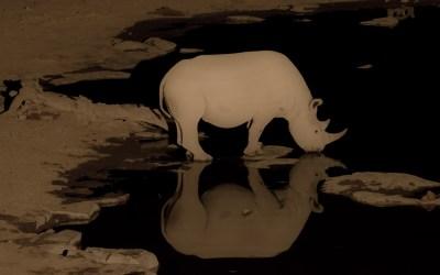 Drinkende zwarte neushoorn bij Moringa waterhole Halali in Etosha NP Namibië