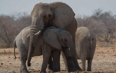 Jonge olifanten passen op elkaar in Etosha NP Namibië