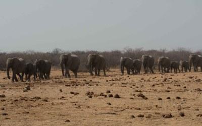 Kudde olifanten op weg naar Tsumcor waterhole in Etosha NP Namibië