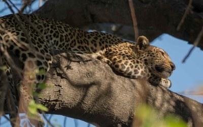 Luipaard in boom in Chobe Botswana