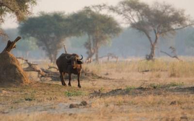Buffel Zambezi rivier Zambia eiland