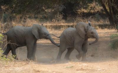 Olifantje jong spelen Lower Zambezi Zambia