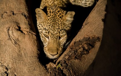 Luipaard boom kill South Luangwa Zambia