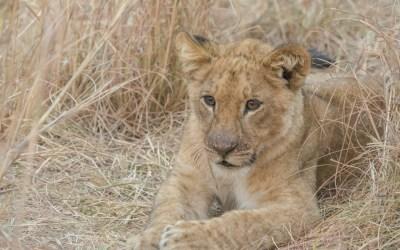Welp leeuw Zambia Kafue NP