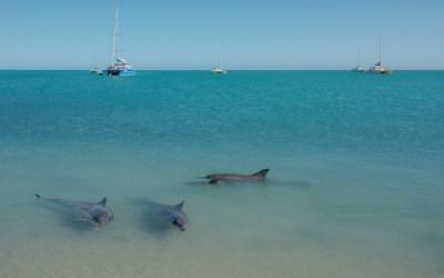 Dolfijn strand branding boot zee Monkey Mia Western Australia