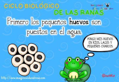 Ciclo biológico de las ranas para niños (3)