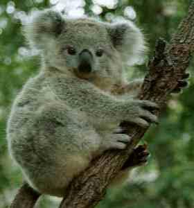 Koala native marsupial of Australia