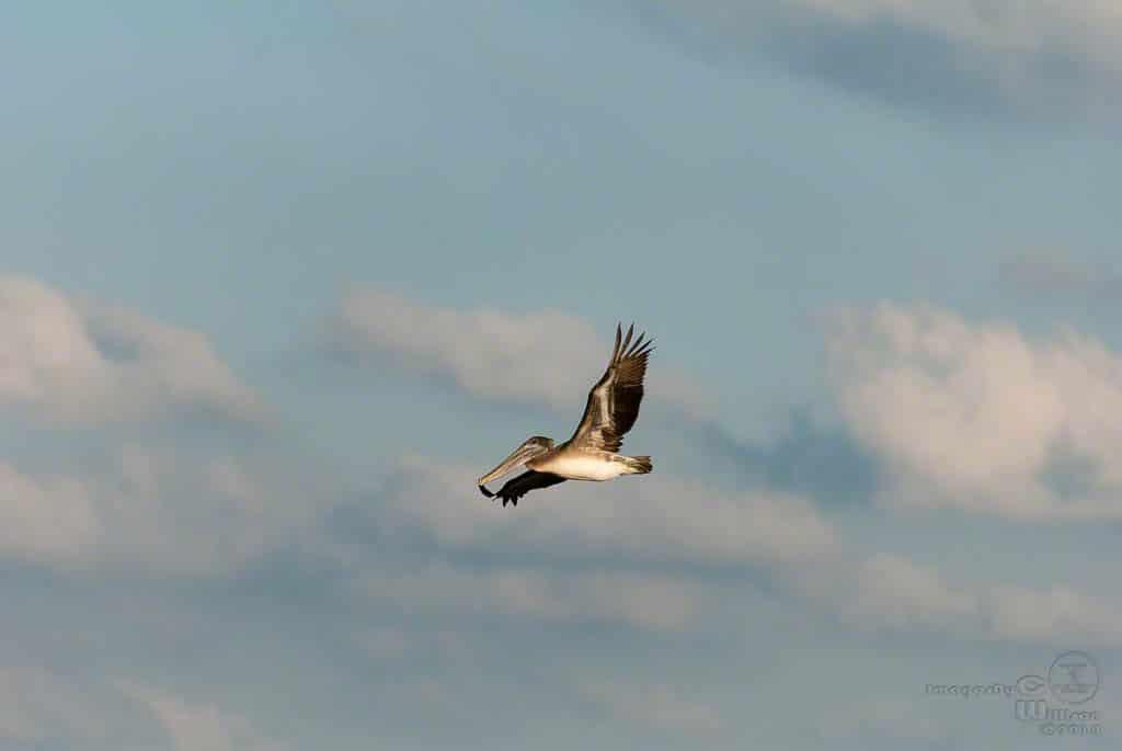 Lonely Pelican