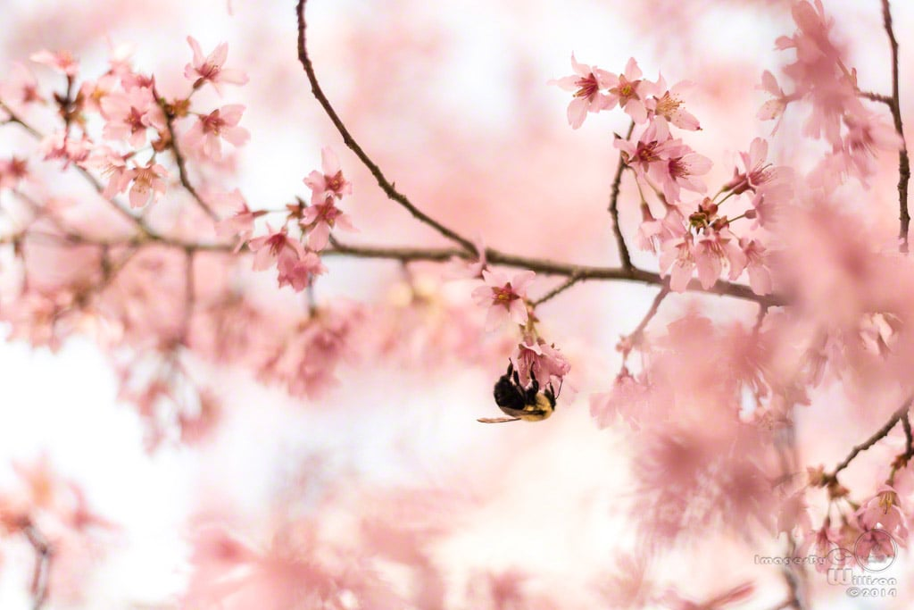 Bee, spring, Cherry bloom