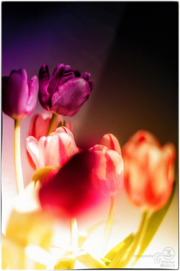 tulips, expressionist, purple, fire