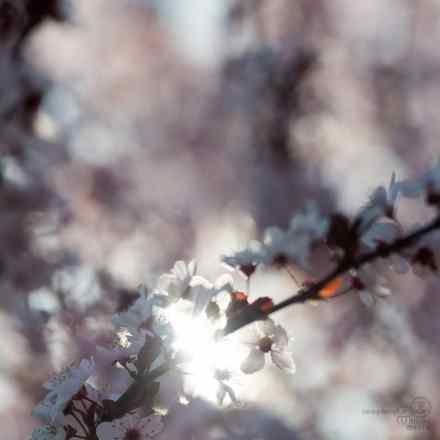 cherry, blossoms, pink, bokeh