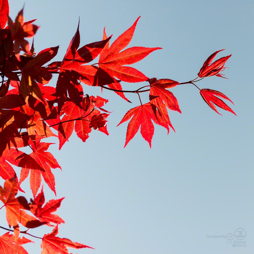 Red maple against the sun