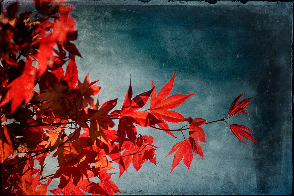 Red Maple - textured