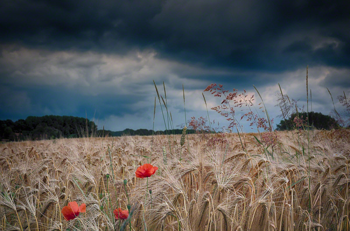 poppies, red, storm, clouds