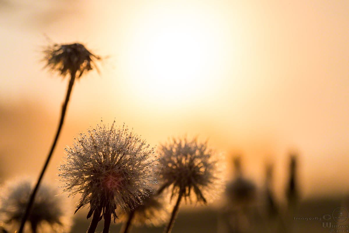 Thistle in the morning light