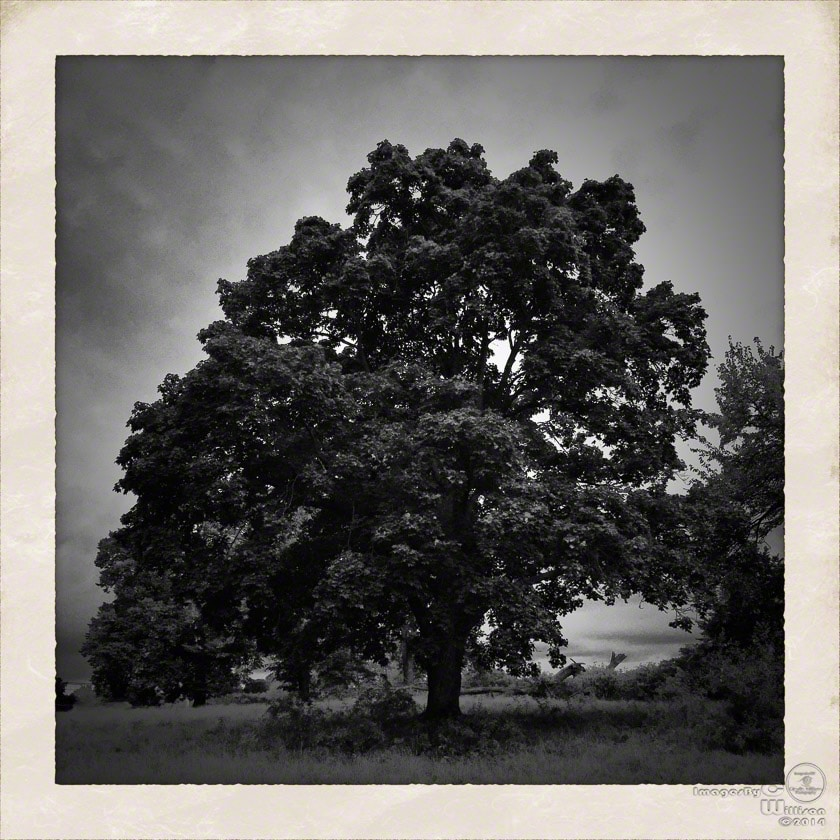tree, b&w, monochrome, big