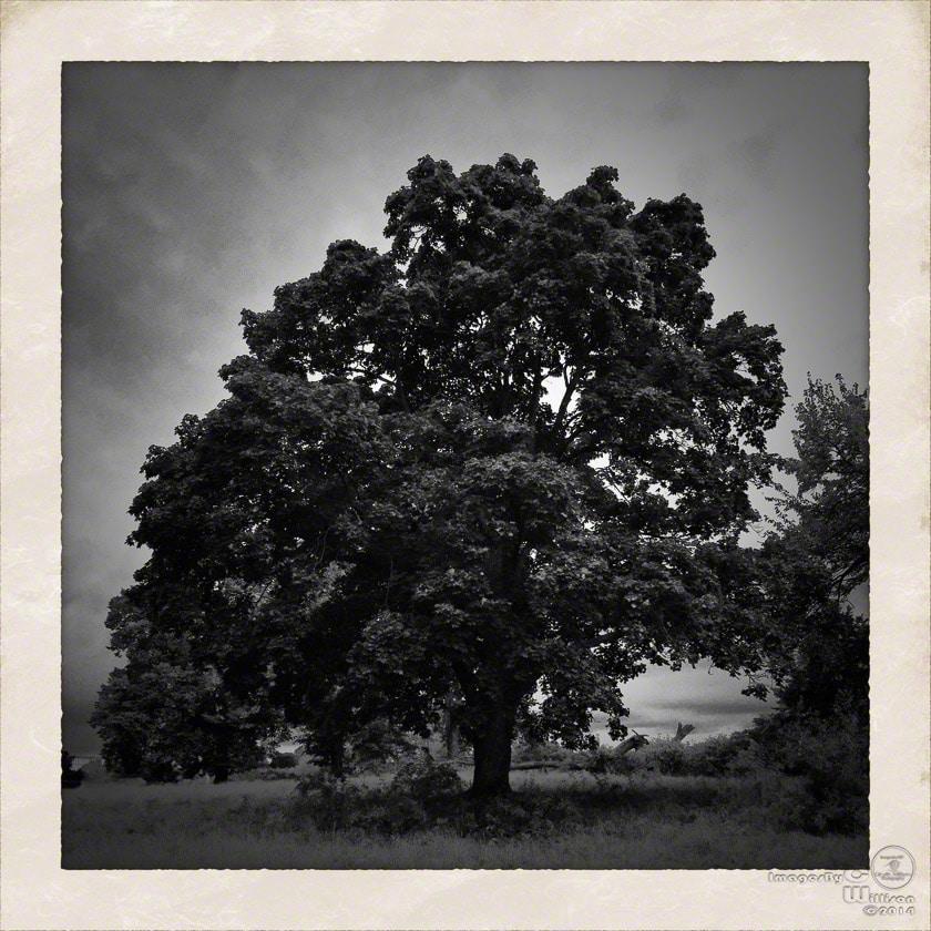 tree, b&w, monochrome, big