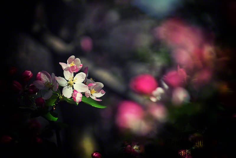 bloom, spring, pink